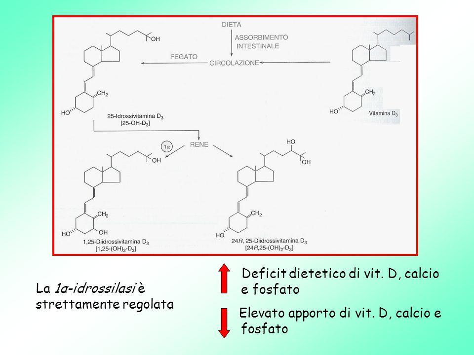 La 1α-idrossilasi è strettamente regolata Deficit dietetico di vit.