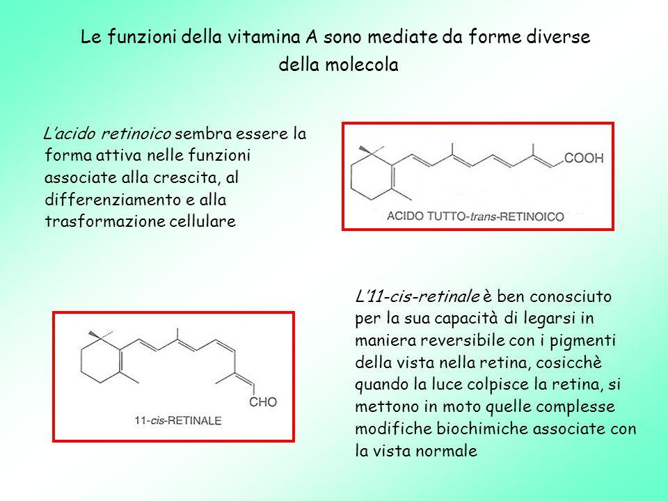 Le funzioni della vitamina A sono mediate da forme diverse della molecola L'acido retinoico sembra essere la forma attiva nelle funzioni associate alla crescita, al differenziamento e alla trasformazione cellulare L'11-cis-retinale è ben conosciuto per la sua capacità di legarsi in maniera reversibile con i pigmenti della vista nella retina, cosicchè quando la luce colpisce la retina, si mettono in moto quelle complesse modifiche biochimiche associate con la vista normale