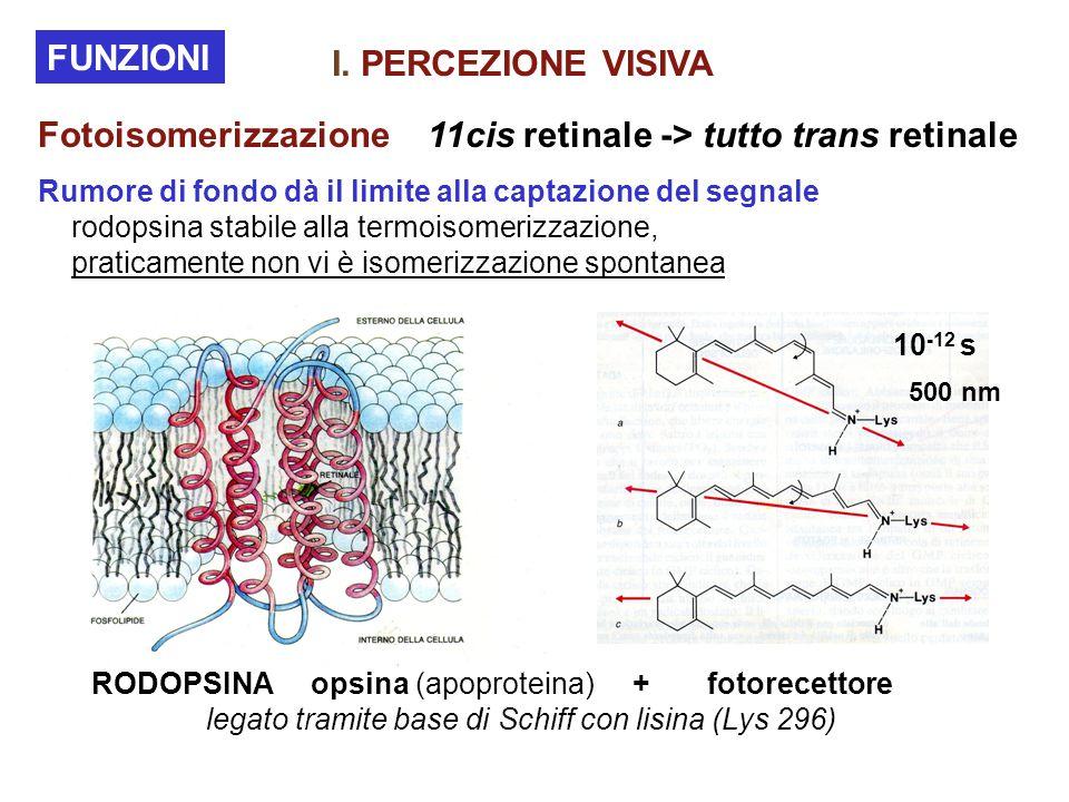 Fotoisomerizzazione 11cis retinale -> tutto trans retinale Rumore di fondo dà il limite alla captazione del segnale rodopsina stabile alla termoisomerizzazione, praticamente non vi è isomerizzazione spontanea FUNZIONI RODOPSINA opsina (apoproteina) + fotorecettore legato tramite base di Schiff con lisina (Lys 296) 10 -12 s 500 nm I.