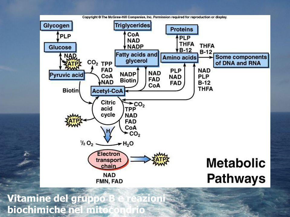 Vitamine del gruppo B e reazioni biochimiche nel mitocondrio