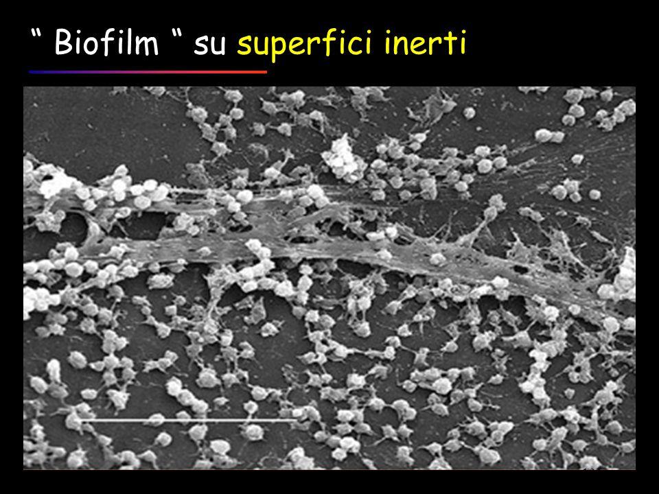 """ Biofilm "" su superfici inerti 136"