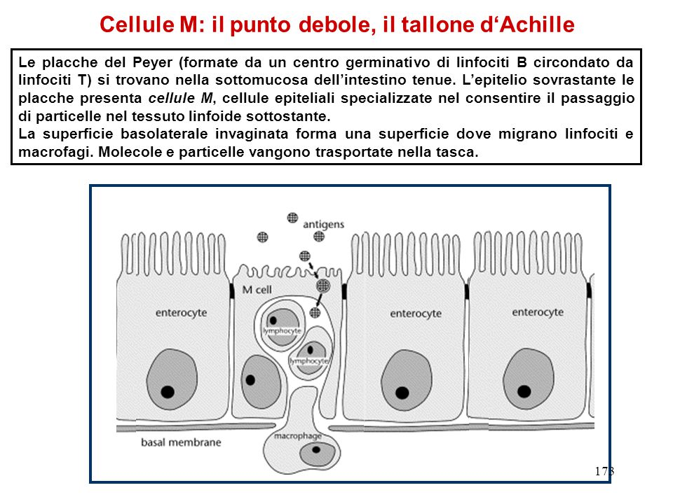 Cellule M: il punto debole, il tallone d'Achille Le placche del Peyer (formate da un centro germinativo di linfociti B circondato da linfociti T) si t