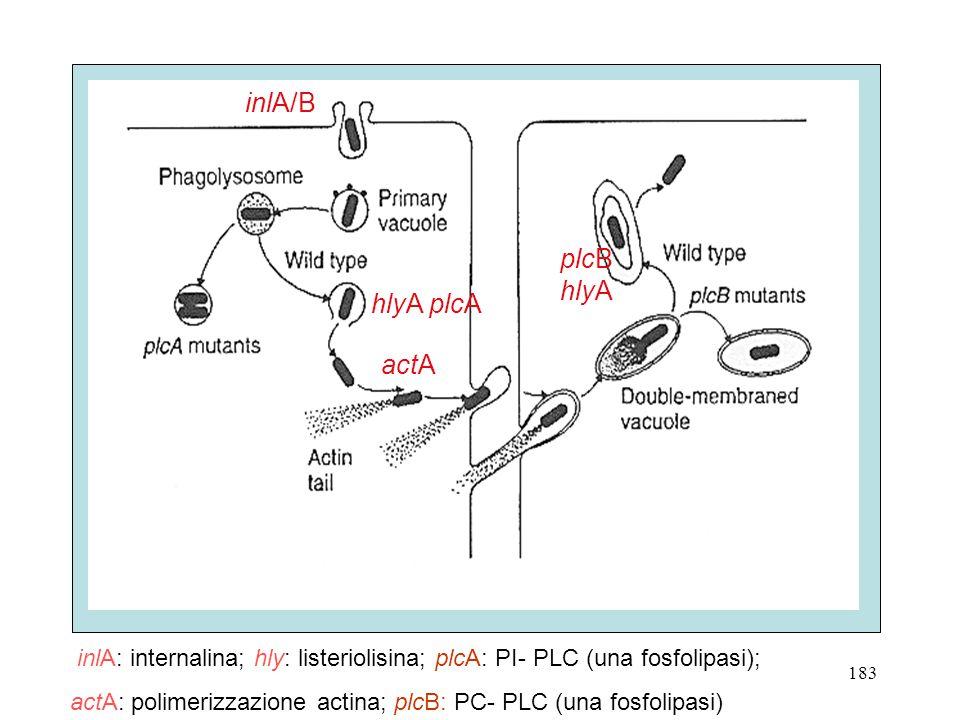 plcB hlyA actA hlyA plcA inlA/B inlA: internalina; hly: listeriolisina; plcA: PI- PLC (una fosfolipasi); actA: polimerizzazione actina; plcB: PC- PLC