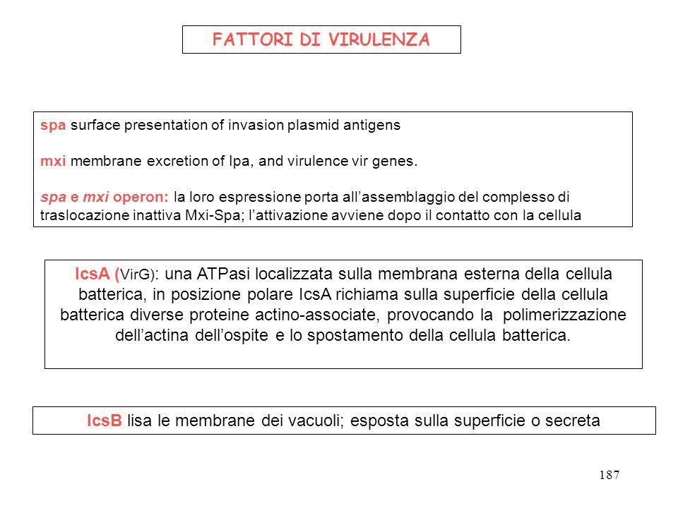 IcsA ( VirG) : una ATPasi localizzata sulla membrana esterna della cellula batterica, in posizione polare IcsA richiama sulla superficie della cellula