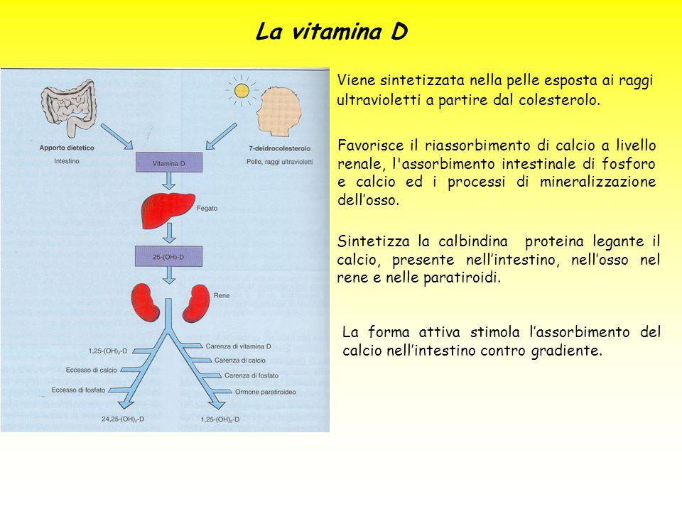 La vitamina D Viene sintetizzata nella pelle esposta ai raggi ultravioletti a partire dal colesterolo. Favorisce il riassorbimento di calcio a livello