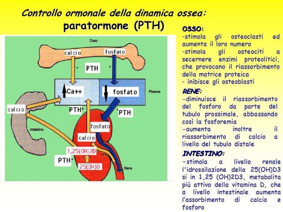 OSSO: -stimola gli osteoclasti ed aumenta il loro numero -stimola gli osteociti a secernere enzimi proteolitici, che provocano il riassorbimento della