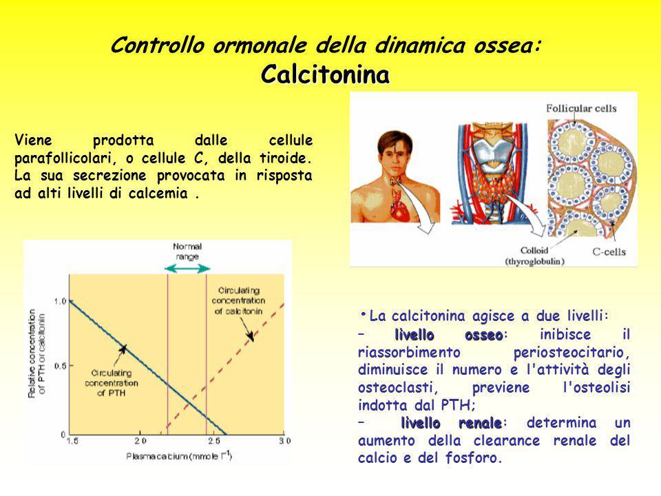 Controllo ormonale della dinamica ossea:Calcitonina Viene prodotta dalle cellule parafollicolari, o cellule C, della tiroide. La sua secrezione provoc