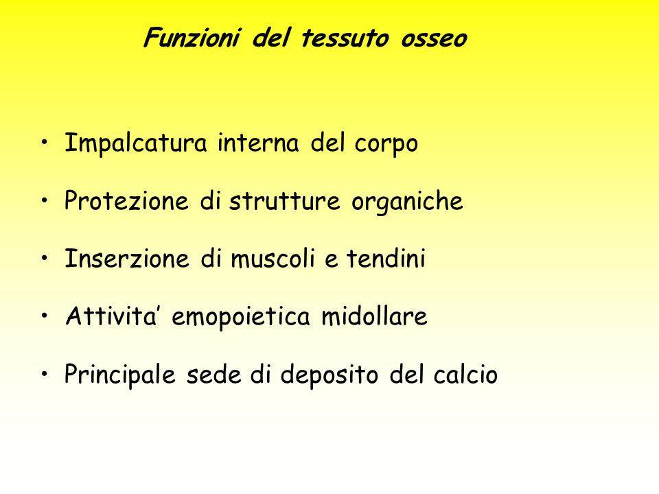 Impalcatura interna del corpo Protezione di strutture organiche Inserzione di muscoli e tendini Attivita' emopoietica midollare Principale sede di dep