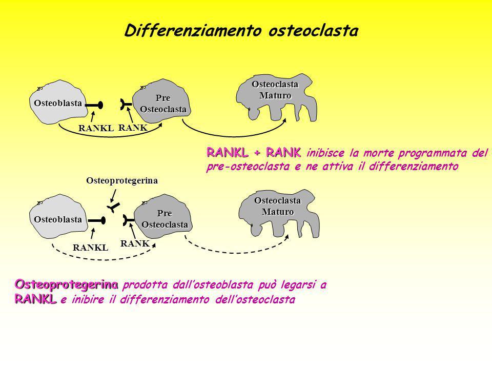 RANKL + RANK RANKL + RANK inibisce la morte programmata del pre-osteoclasta e ne attiva il differenziamento Osteoprotegerina RANKL Osteoprotegerina pr