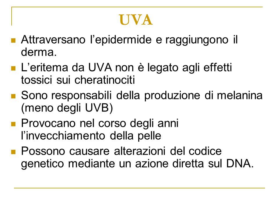 UVA Attraversano l'epidermide e raggiungono il derma. L'eritema da UVA non è legato agli effetti tossici sui cheratinociti Sono responsabili della pro