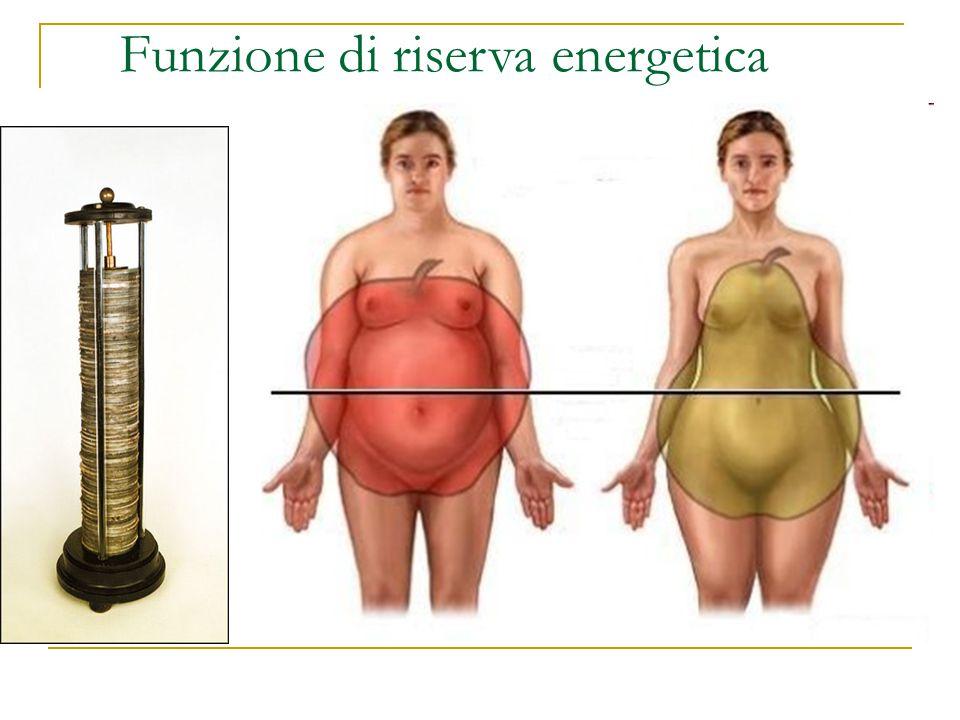 Funzione di riserva energetica Il tessuto adiposo rappresenta la riserva energetica più capace dell'organismo. Le cellule adipose arrivano a costituir