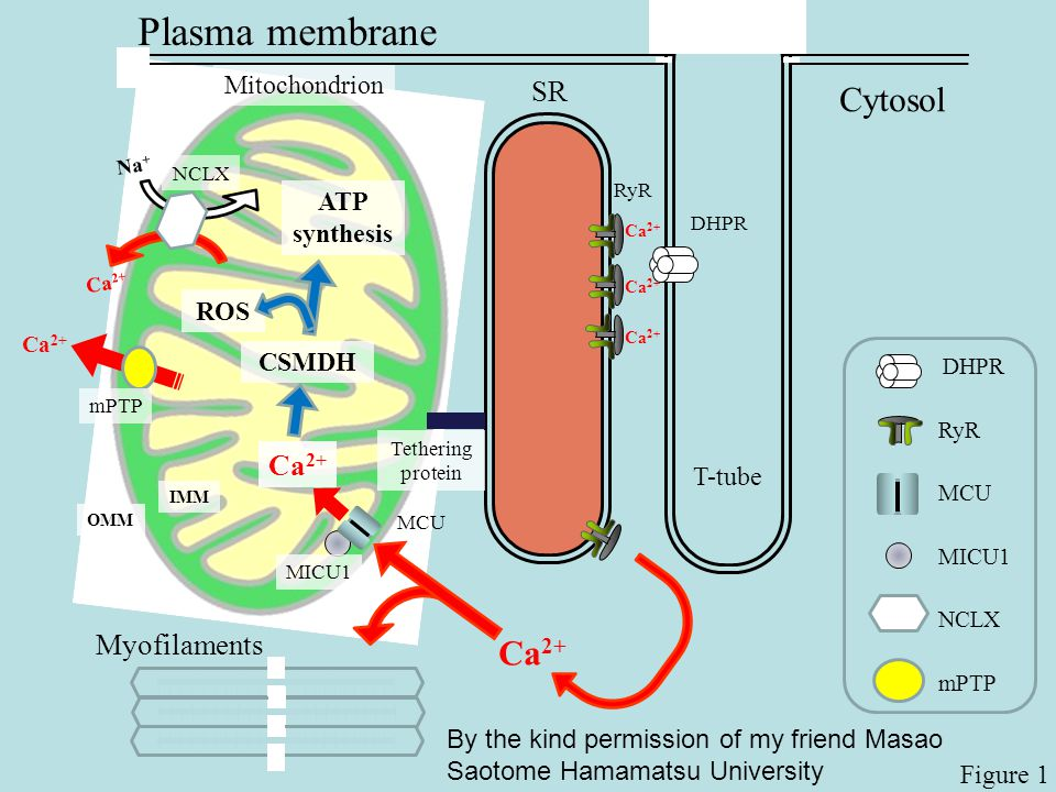 SR Plasma membrane Mitochondrion ROS Tethering protein DHPR T-tube Cytosol ATP synthesis Ca 2+ Myofilaments Ca 2+ Na + Ca 2+ OMM IMM CSMDH Figure 1 MC