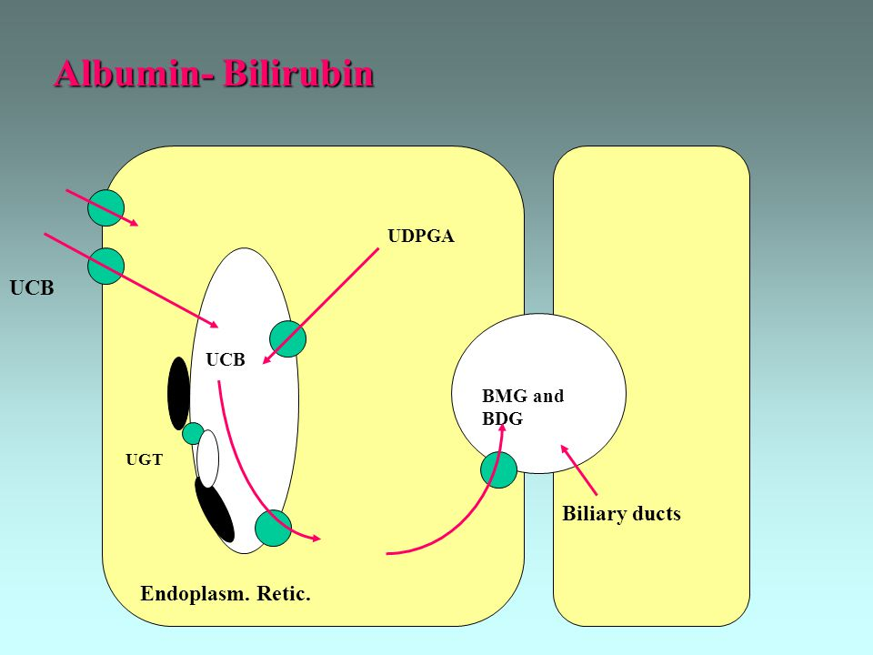 Albumin- Bilirubin Endoplasm. Retic. BMG and BDG UDPGA UCB UGT Biliary ducts UCB
