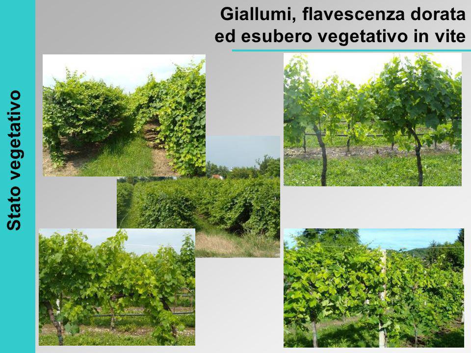 Stato vegetativo Giallumi, flavescenza dorata ed esubero vegetativo in vite