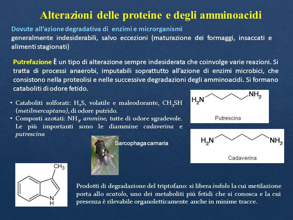Alterazioni delle proteine e degli amminoacidi Dovute all'azione degradativa di enzimi e microrganismi generalmente indesiderabili, salvo eccezioni (m