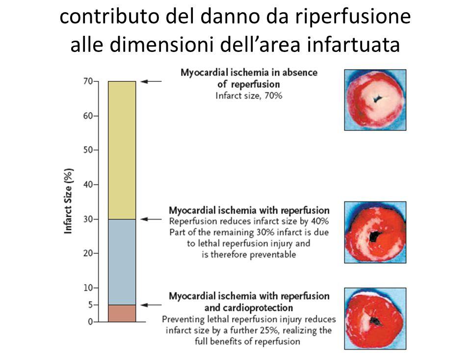 contributo del danno da riperfusione alle dimensioni dell'area infartuata