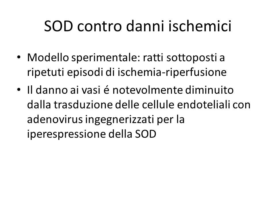SOD contro danni ischemici Modello sperimentale: ratti sottoposti a ripetuti episodi di ischemia-riperfusione Il danno ai vasi é notevolmente diminuit