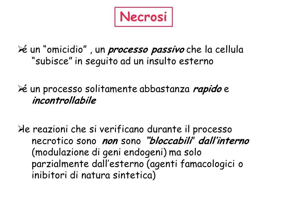 """Necrosi  é un """"omicidio"""", un processo passivo che la cellula """"subisce"""" in seguito ad un insulto esterno  é un processo solitamente abbastanza rapido"""