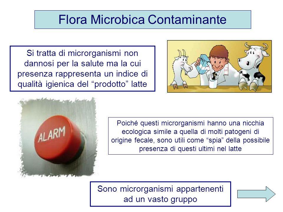 Flora Microbica Contaminante Sono microrganismi appartenenti ad un vasto gruppo Poiché questi microrganismi hanno una nicchia ecologica simile a quell