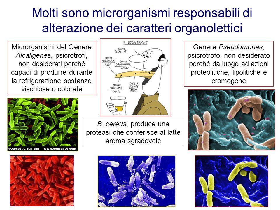 Molti sono microrganismi responsabili di alterazione dei caratteri organolettici Microrganismi del Genere Alcaligenes, psicrotrofi, non desiderati per