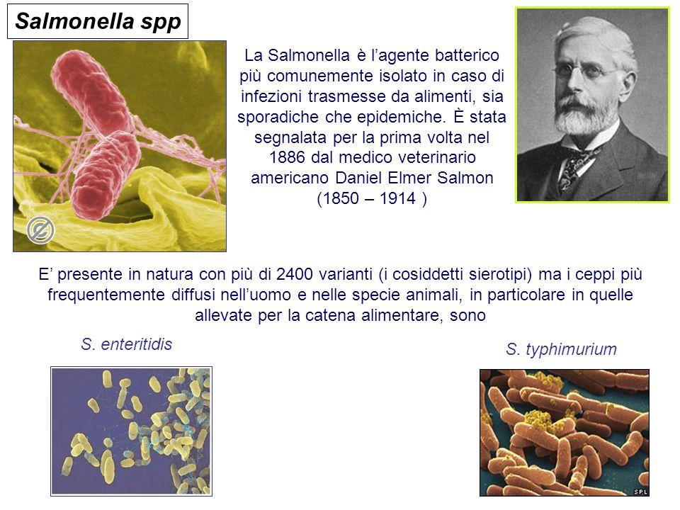 Salmonella spp La Salmonella è l'agente batterico più comunemente isolato in caso di infezioni trasmesse da alimenti, sia sporadiche che epidemiche. È