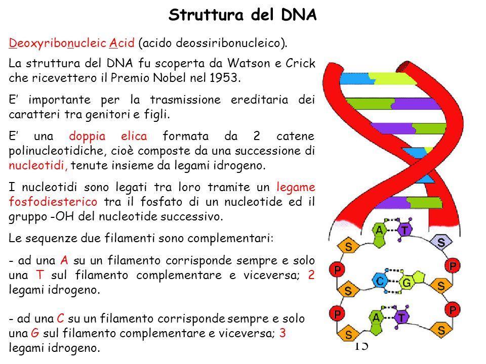 15 Struttura del DNA Deoxyribonucleic Acid (acido deossiribonucleico).