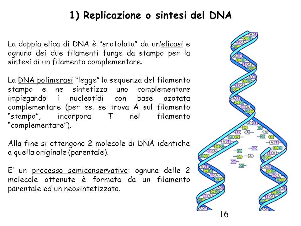 16 1) Replicazione o sintesi del DNA La doppia elica di DNA è srotolata da un'elicasi e ognuno dei due filamenti funge da stampo per la sintesi di un filamento complementare.