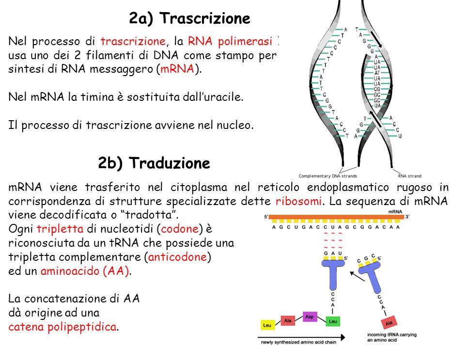 18 Nel processo di trascrizione, la RNA polimerasi II usa uno dei 2 filamenti di DNA come stampo per la sintesi di RNA messaggero (mRNA).