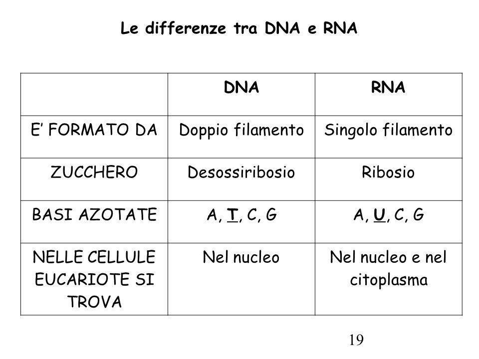 19 Le differenze tra DNA e RNA DNARNA E' FORMATO DADoppio filamentoSingolo filamento ZUCCHERODesossiribosioRibosio BASI AZOTATEA, T, C, GA, U, C, G NELLE CELLULE EUCARIOTE SI TROVA Nel nucleoNel nucleo e nel citoplasma