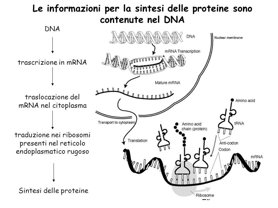 23 Le informazioni per la sintesi delle proteine sono contenute nel DNA DNA trascrizione in mRNA traslocazione del mRNA nel citoplasma traduzione nei ribosomi presenti nel reticolo endoplasmatico rugoso Sintesi delle proteine