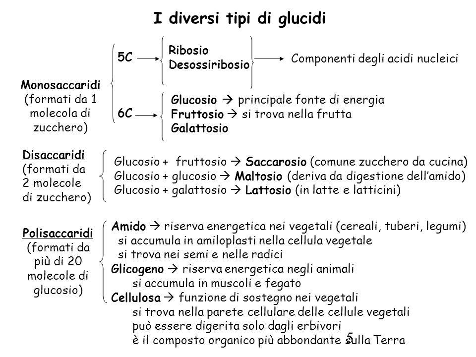 5 Disaccaridi (formati da 2 molecole di zucchero) Glucosio + fruttosio  Saccarosio (comune zucchero da cucina) Glucosio + glucosio  Maltosio (deriva da digestione dell'amido) Glucosio + galattosio  Lattosio (in latte e latticini) Polisaccaridi (formati da più di 20 molecole di glucosio) Amido  riserva energetica nei vegetali (cereali, tuberi, legumi) si accumula in amiloplasti nella cellula vegetale si trova nei semi e nelle radici Glicogeno  riserva energetica negli animali si accumula in muscoli e fegato Cellulosa  funzione di sostegno nei vegetali si trova nella parete cellulare delle cellule vegetali può essere digerita solo dagli erbivori è il composto organico più abbondante sulla Terra I diversi tipi di glucidi Monosaccaridi (formati da 1 molecola di zucchero) 5C Ribosio Desossiribosio Componenti degli acidi nucleici Glucosio  principale fonte di energia Fruttosio  si trova nella frutta Galattosio 6C