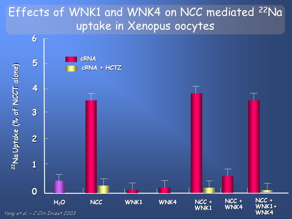 Effects of WNK1 and WNK4 on NCC mediated 22 Na uptake in Xenopus oocytes H2OH2OH2OH2OWNK1NCC NCC + WNK1 0 1 2 3 4 22 Na Uptake (% of NCCT alone) 5 6 W