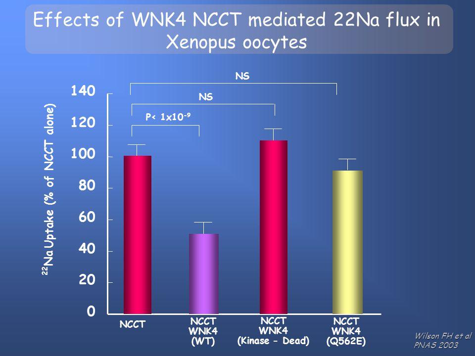 NCCT WNK4 (Kinase - Dead) NCCT WNK4 (WT) NCCT WNK4 (Q562E) P< 1x10 -9 NS Effects of WNK4 NCCT mediated 22Na flux in Xenopus oocytes Wilson FH et al PN