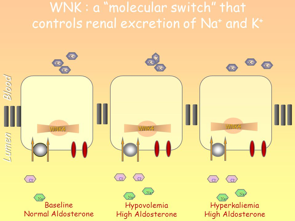 """WNK : a """"molecular switch"""" that controls renal excretion of Na + and K +WNK4 Baseline Normal Aldosterone Hyperkaliemia High Aldosterone Hypovolemia Hi"""