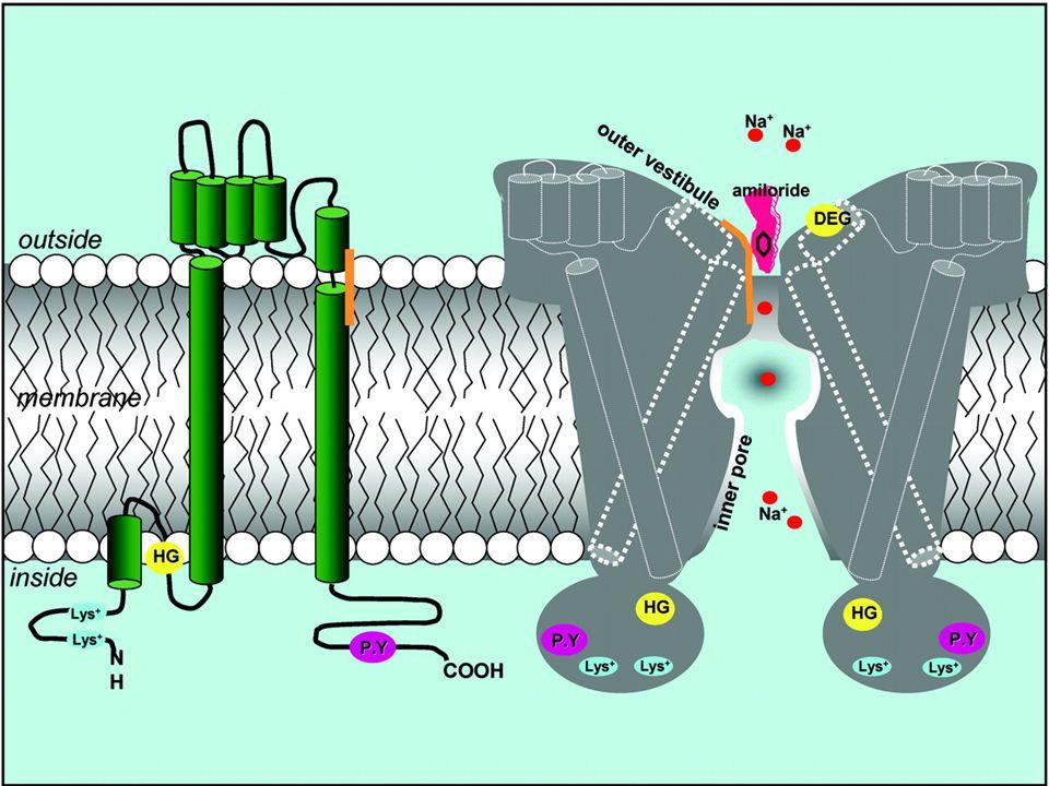 Na + handling mediated by ENaC in ASDN cells (DCT2-CNT-CD) Na + K+K+ Em=-65mV Na + LUMEN INTERSTITIUM Na + K+K+ K+K+ K+K+ K+K+ ATP- ase ROMK ENaC DCT TAL PT DCT CNT CD Na + H + - ATP ase H+H+ H+H+ H+H+ - - - -- INCREASED LUMEN ELECTRONEGATIVITY