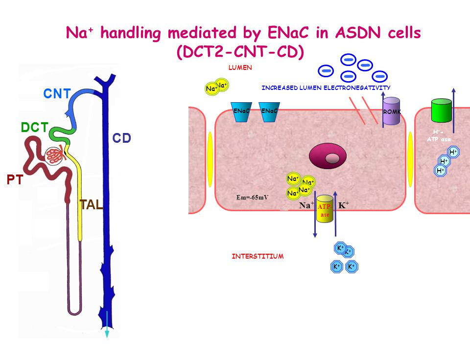 Na + handling mediated by ENaC in ASDN cells (DCT2-CNT-CD) Na + K+K+ Em=-65mV Na + LUMEN INTERSTITIUM Na + K+K+ K+K+ K+K+ K+K+ ATP- ase ROMK ENaC DCT