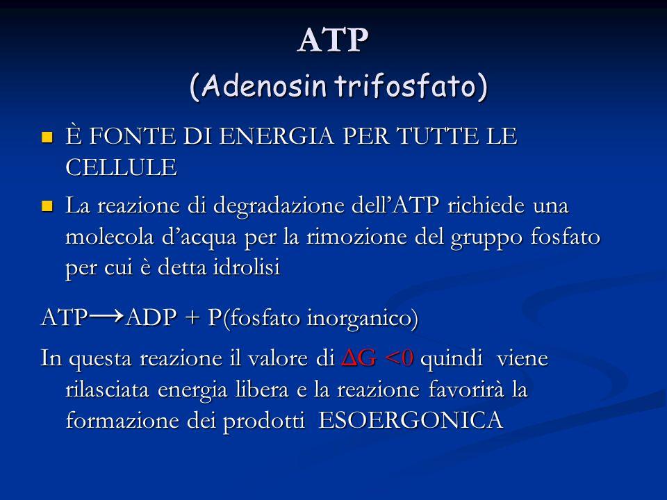 ATP (Adenosin trifosfato) È FONTE DI ENERGIA PER TUTTE LE CELLULE È FONTE DI ENERGIA PER TUTTE LE CELLULE La reazione di degradazione dell'ATP richied