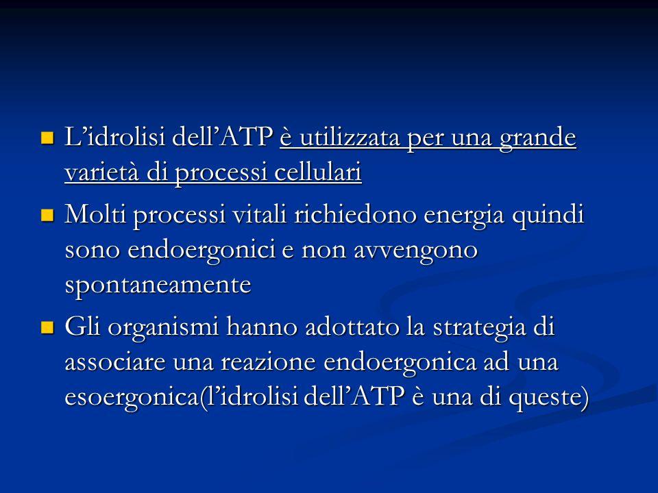 L'idrolisi dell'ATP è utilizzata per una grande varietà di processi cellulari L'idrolisi dell'ATP è utilizzata per una grande varietà di processi cell