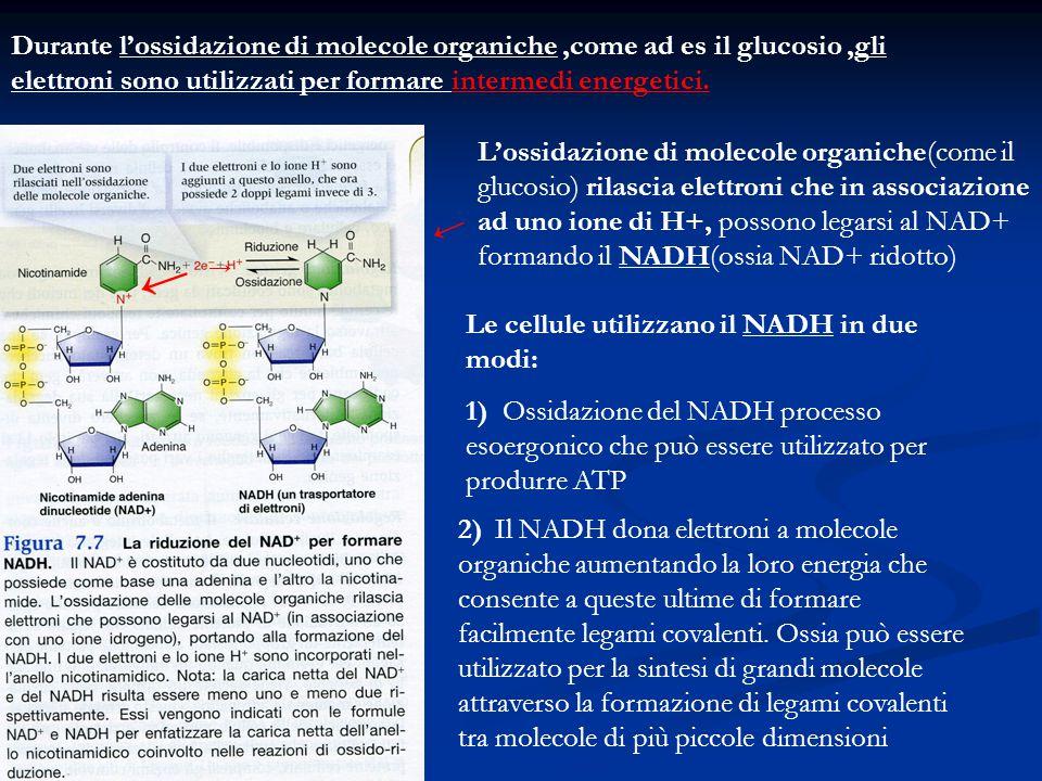 Durante l'ossidazione di molecole organiche,come ad es il glucosio,gli elettroni sono utilizzati per formare intermedi energetici. L'ossidazione di mo