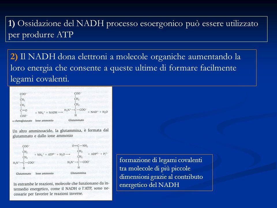 1) Ossidazione del NADH processo esoergonico può essere utilizzato per produrre ATP 2) Il NADH dona elettroni a molecole organiche aumentando la loro