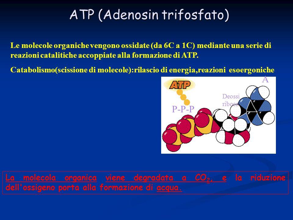 ATP (Adenosin trifosfato) Le molecole organiche vengono ossidate (da 6C a 1C) mediante una serie di reazioni catalitiche accoppiate alla formazione di