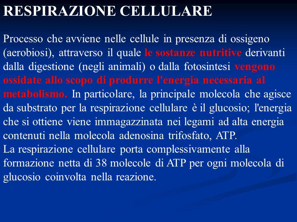 RESPIRAZIONE CELLULARE Processo che avviene nelle cellule in presenza di ossigeno (aerobiosi), attraverso il quale le sostanze nutritive derivanti dal