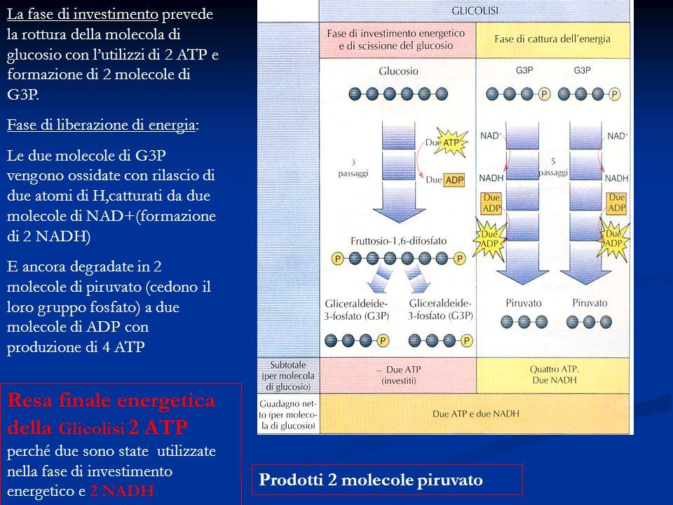 La fase di investimento prevede la rottura della molecola di glucosio con l'utilizzi di 2 ATP e formazione di 2 molecole di G3P. Fase di liberazione d