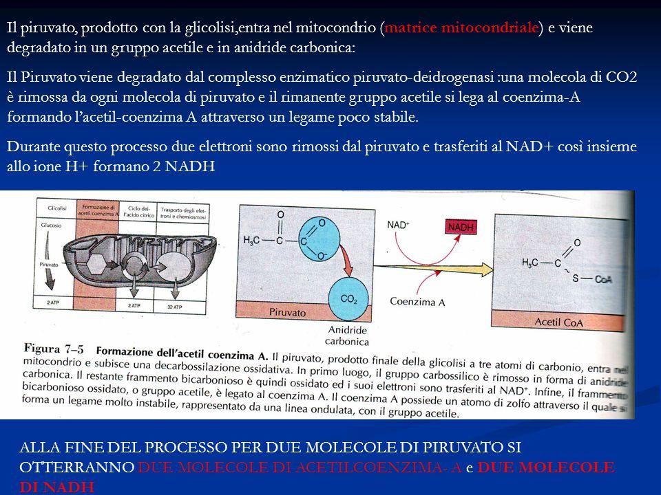 Il piruvato, prodotto con la glicolisi,entra nel mitocondrio (matrice mitocondriale) e viene degradato in un gruppo acetile e in anidride carbonica: I