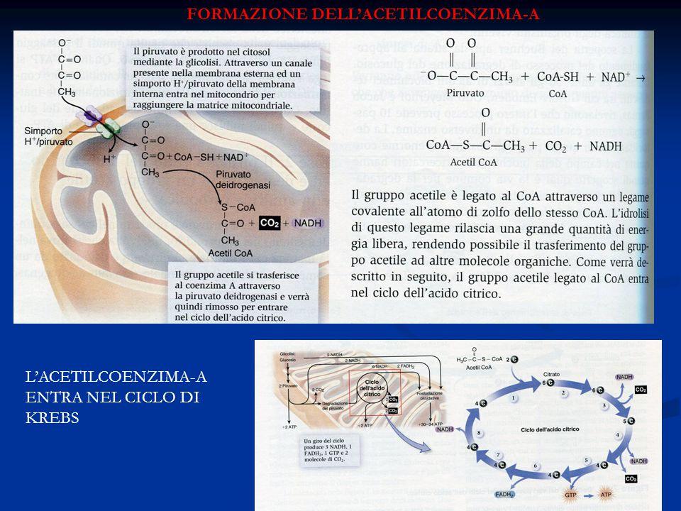 FORMAZIONE DELL'ACETILCOENZIMA-A L'ACETILCOENZIMA-A ENTRA NEL CICLO DI KREBS