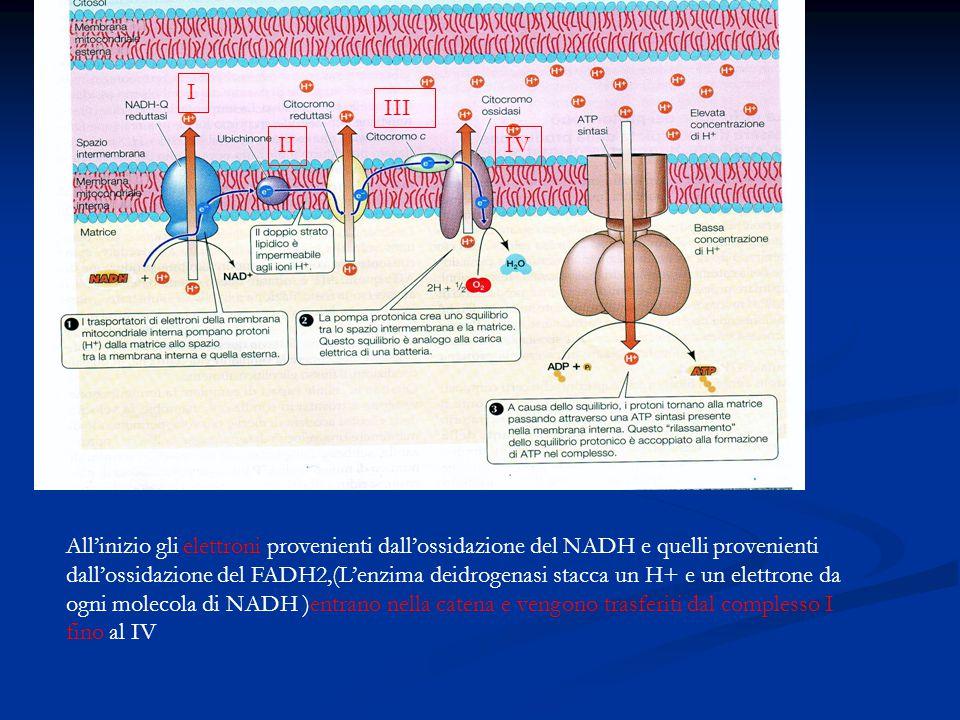 All'inizio gli elettroni provenienti dall'ossidazione del NADH e quelli provenienti dall'ossidazione del FADH2,(L'enzima deidrogenasi stacca un H+ e u