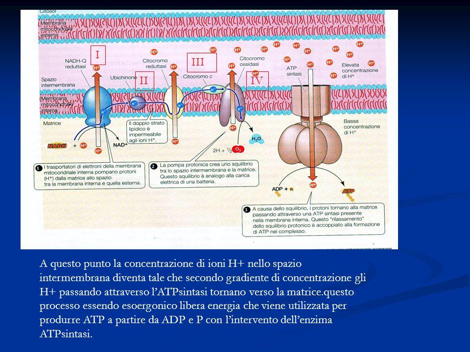 I II III IV A questo punto la concentrazione di ioni H+ nello spazio intermembrana diventa tale che secondo gradiente di concentrazione gli H+ passand