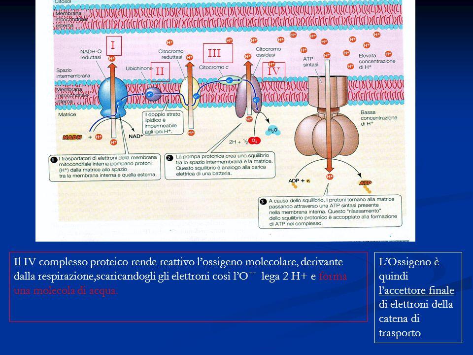 Il IV complesso proteico rende reattivo l'ossigeno molecolare, derivante dalla respirazione,scaricandogli gli elettroni così l'Oˉˉ lega 2 H+ e forma u