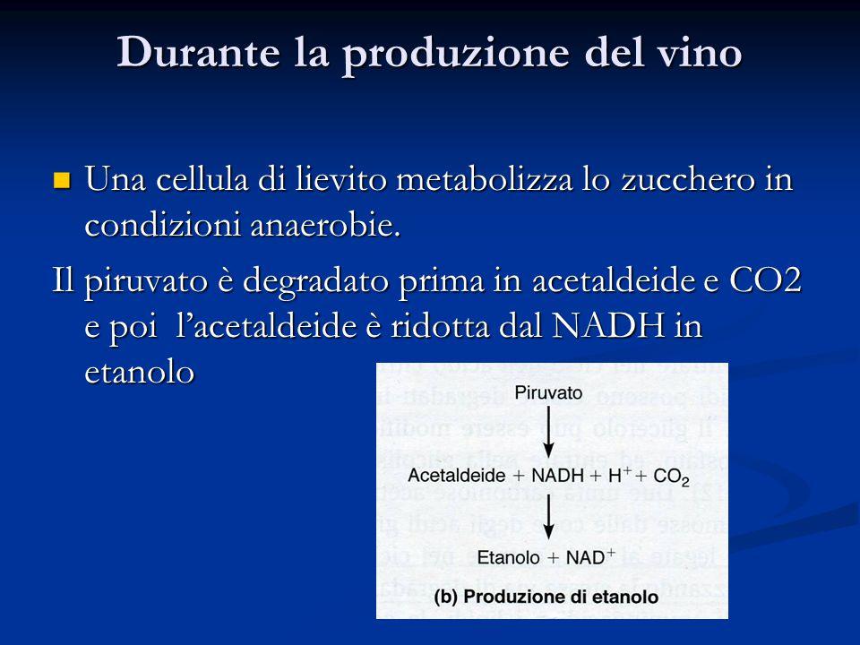 Durante la produzione del vino Una cellula di lievito metabolizza lo zucchero in condizioni anaerobie. Una cellula di lievito metabolizza lo zucchero