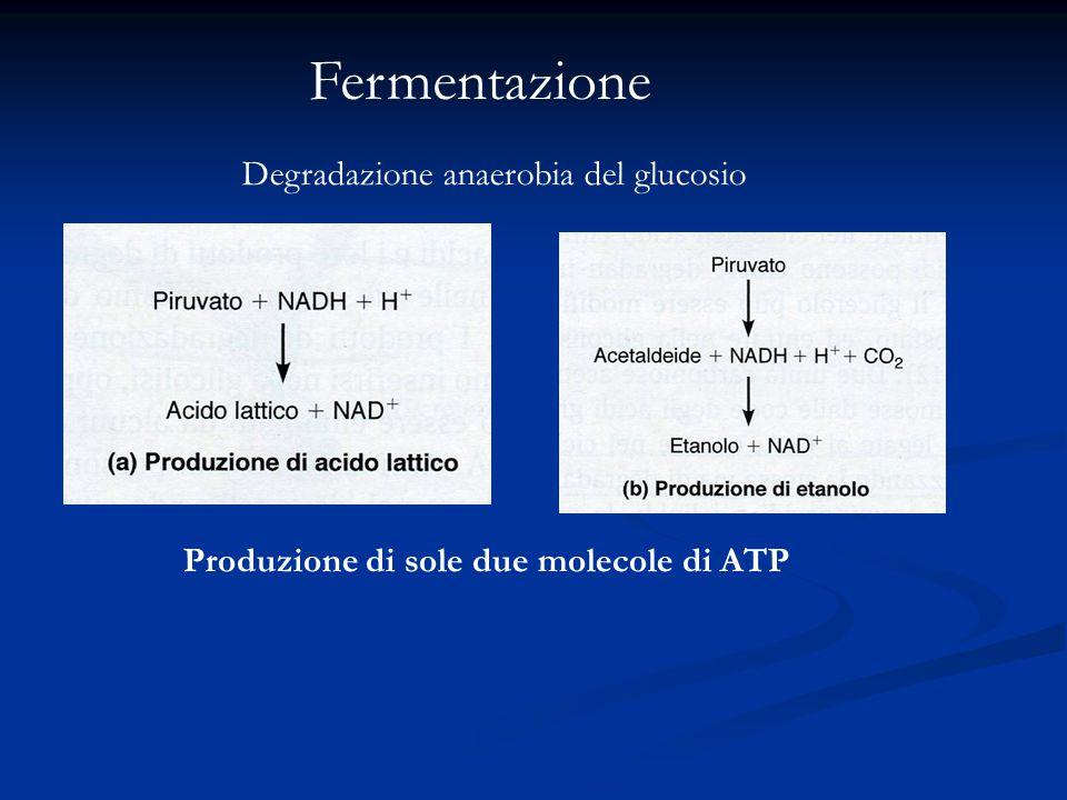Fermentazione Degradazione anaerobia del glucosio Produzione di sole due molecole di ATP